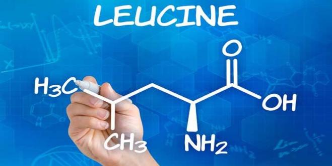 Leucina: auxílio na recuperação do músculo pós-exercício físico e no aumento da performance física e